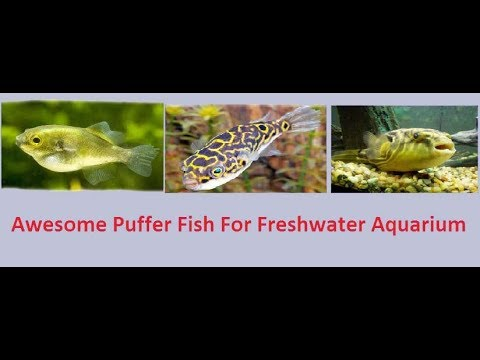 Top 15 Puffer Fish For Freshwater Aquarium And Their Basic Info