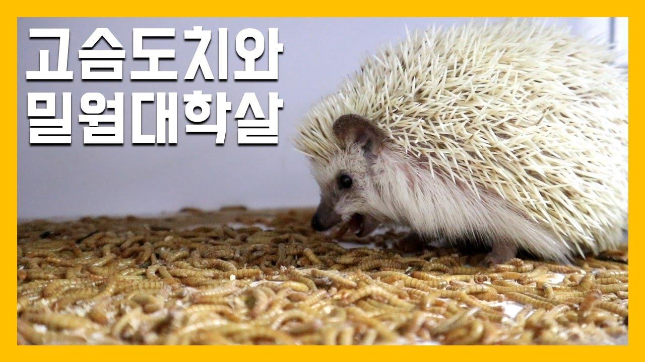 고슴도치와 밀웜천국 [냥이아빠]