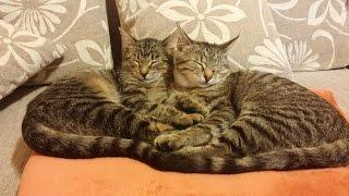 50 забавных кошачьих поз для сна (на примере двух котят)