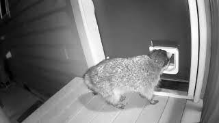 Кот побил непрошенного гостя - енота. Видео Twitter / lindsaymills