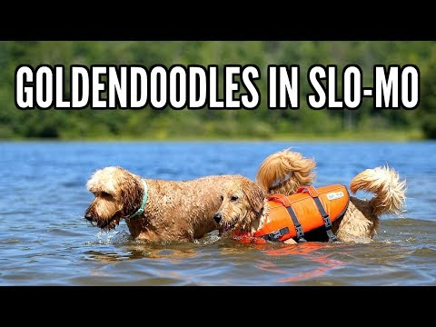 DOGS SWIMMING IN SLOW MOTION! GOLDENDOODLES!