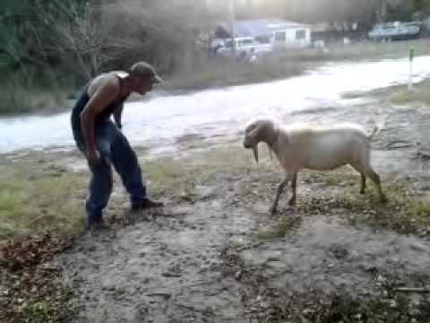 Billy Goat Head Butting Redneck Style