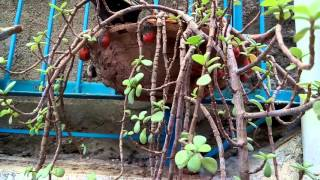 22 - How to grow n care Jade plant (Hindi/Urdu)  - 7/5/16
