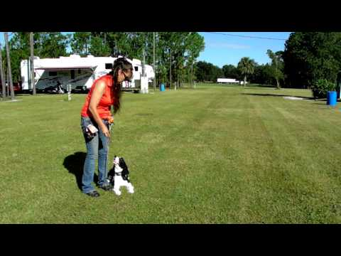 English Springer Spaniel Duke Shaping Heel and Down Dogtra Pager E Collar