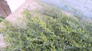 видео Божье дерево полынь - лечебные свойства и противопоказания, божье дерево лечебные свойства и противопоказания