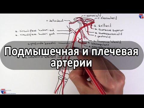 Подмышечная, плечевая артерии и их ветви - Meduniver.com