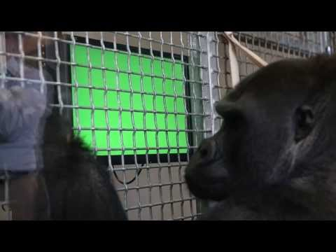 Apes and touch screens at the Lincoln Park Zoo