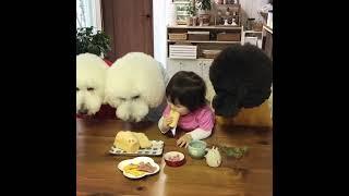 大きなスタンダードプードルと小さな子供の癒やし動画