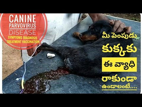Parvo Viral Disease In Dogs/Symptoms/Diagnosis/Treatment/Vaccination Shedule