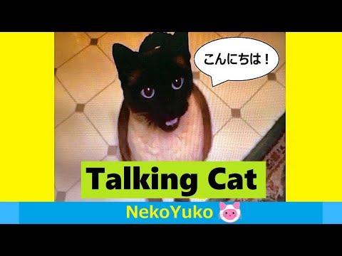 Talking Siamese Cat [CC] おしゃべりシャム猫と会話
