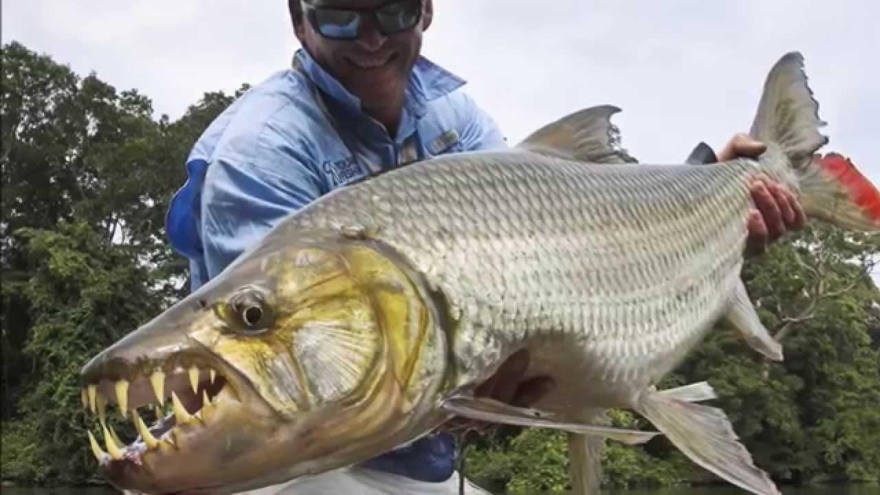 Top 10 Most Dangerous Fish: Goliath Tigerfish