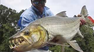 Goliath Tigerfish - River Monster (Hydrocynus Goliath)