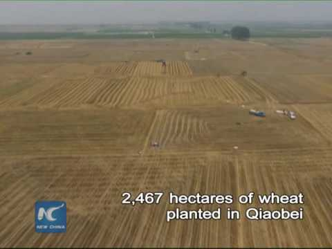 Aerial view of wheat harvesting along Yellow River