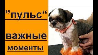 Пульс собака перваяпомощь собаке важные моменты.пульс - у собаки