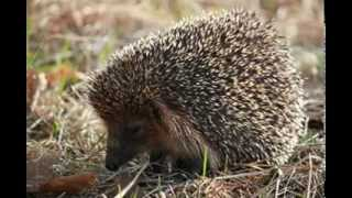 Hedgehog Facts - Facts About Hedgehogs
