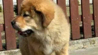 Tibetan Mastif Szine Diabelski Usmiech