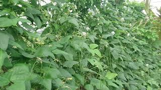 Làm vườn trồng đậu đũa