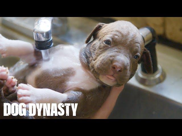 Giant Pitbull Hulk's $15,000 Puppies | DOG DYNASTY