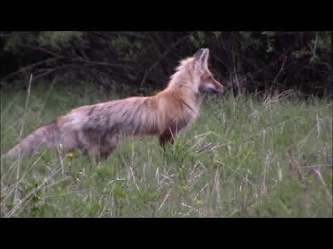 Fox hunting amid Black Bear and Bison in Yellowstone