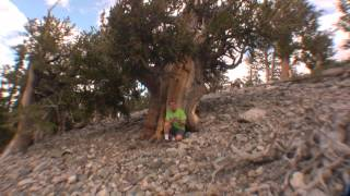 The Largest and Oldest Trees on Earth