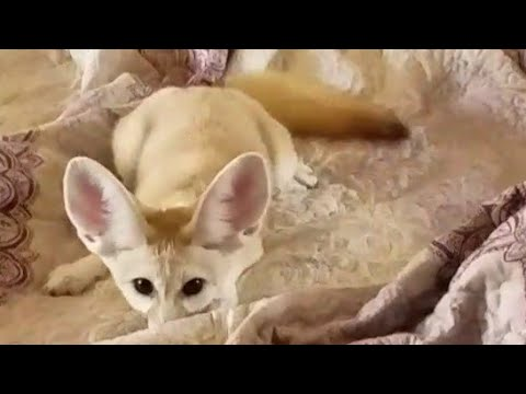 waking up with a fennec fox youtube