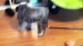 Old Schnauzer Meets Miniture Blue Nose Pitbull