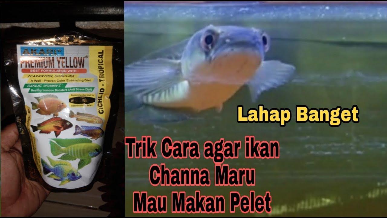 Cara Cepat Dan Mudah Agar Ikan Channa Mau Makan Pelet Lahap Banget Youtube