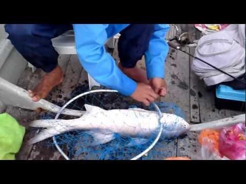 Kurau 3.7kg.MP4(pancingport.blogspot)