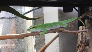 ヒルヤモリに餌づけPhelsuma madagascariensis   keeprearraisekeep  reptiles