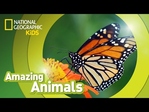Monarch Butterfly | AMAZING ANIMALS
