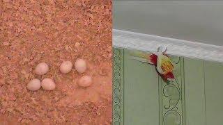 Разведение попугаев осень зима 2017 №4 Нимфы - Кореллы на яйцах и Розелла попугай-паук