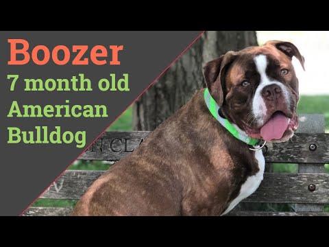 Best Dog Training in Columbus, Ohio! 7 month old American Bulldog, Boozer!