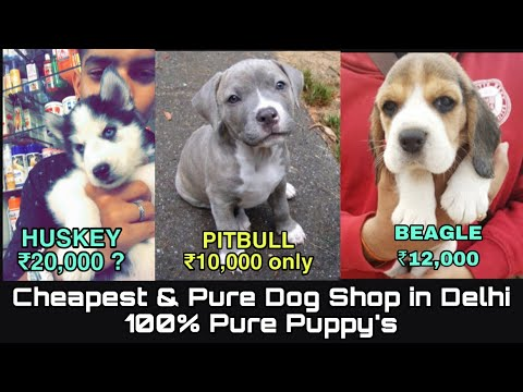 American bully puppies for sale in Delhi ( wholsale and