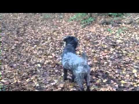 Finn Irish Kerry Blue Terrier