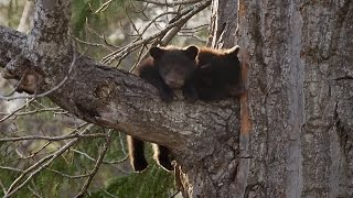 12 Week Old Bear Cubs Climbing Down Tree - Wild Alaska - BBC