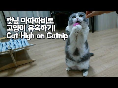 [곰고양이 쇼렐] 캣닢 마따따비에 취한 쇼렐이 애교 Cat high on catnip [Cat Bear-Showrel]