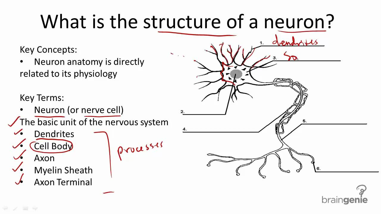 Radial Nerve Diagram Precedence Example Network Cell Structure Wiring All Data 8 1 3 And Function Youtube