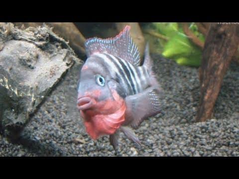 [HD] Flaring Firemouth Cichlid / Feuermaulbuntbarsch @ Zierfische & Aquarium 2010 [25/53]