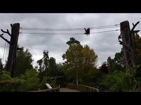 Northwest Bornean orangutan enclosure