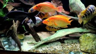 American cichlids and others tank(discussion about collection)