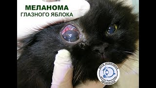 Меланома глазного яблока у кошки