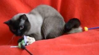 Купить шотландского котенка: Шотландская стерилизованная кошечка.