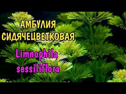 АМБУЛИЯ СИДЯЧЕЦВЕТКОВАЯ. Limnophila sessiliflora