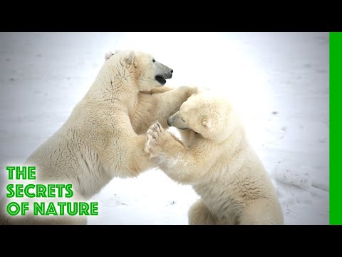 Living with Polar Bears - The Secrets of Nature