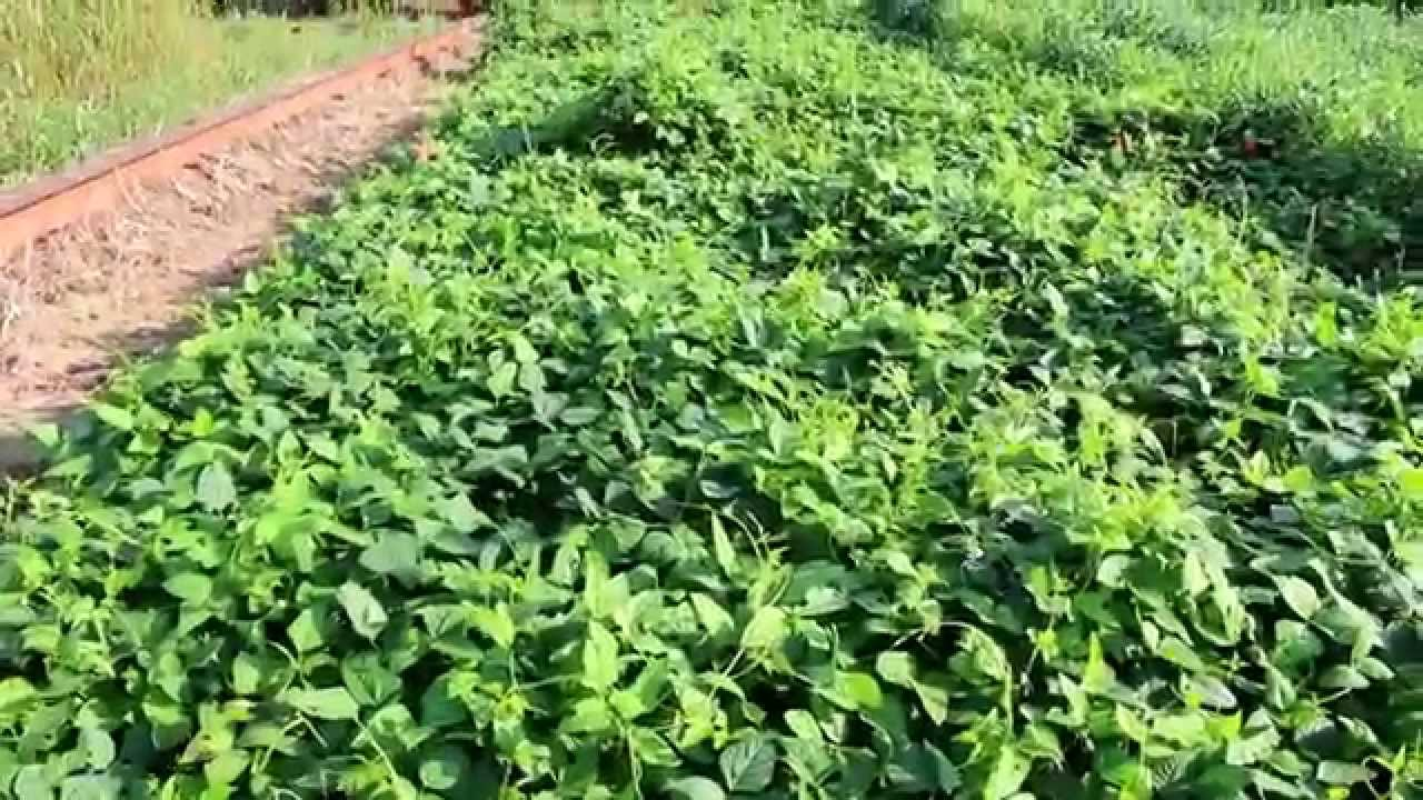 Iron Clay Pea Rolling Multiple Times Youtube