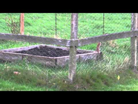 weasel-hunting-004