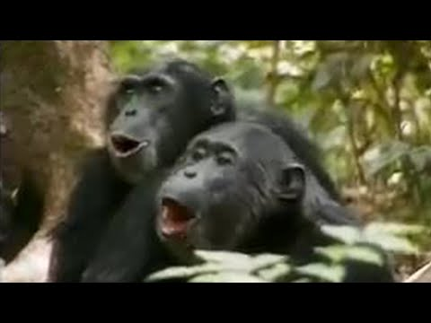 Chimps vs red colobus monkeys - BBC wildlife