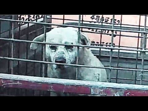 GUT-WRENCHING: Inside a Dog Slaughterhouse - YouTube - photo#36