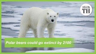 Polar bears could go extinct by 2100
