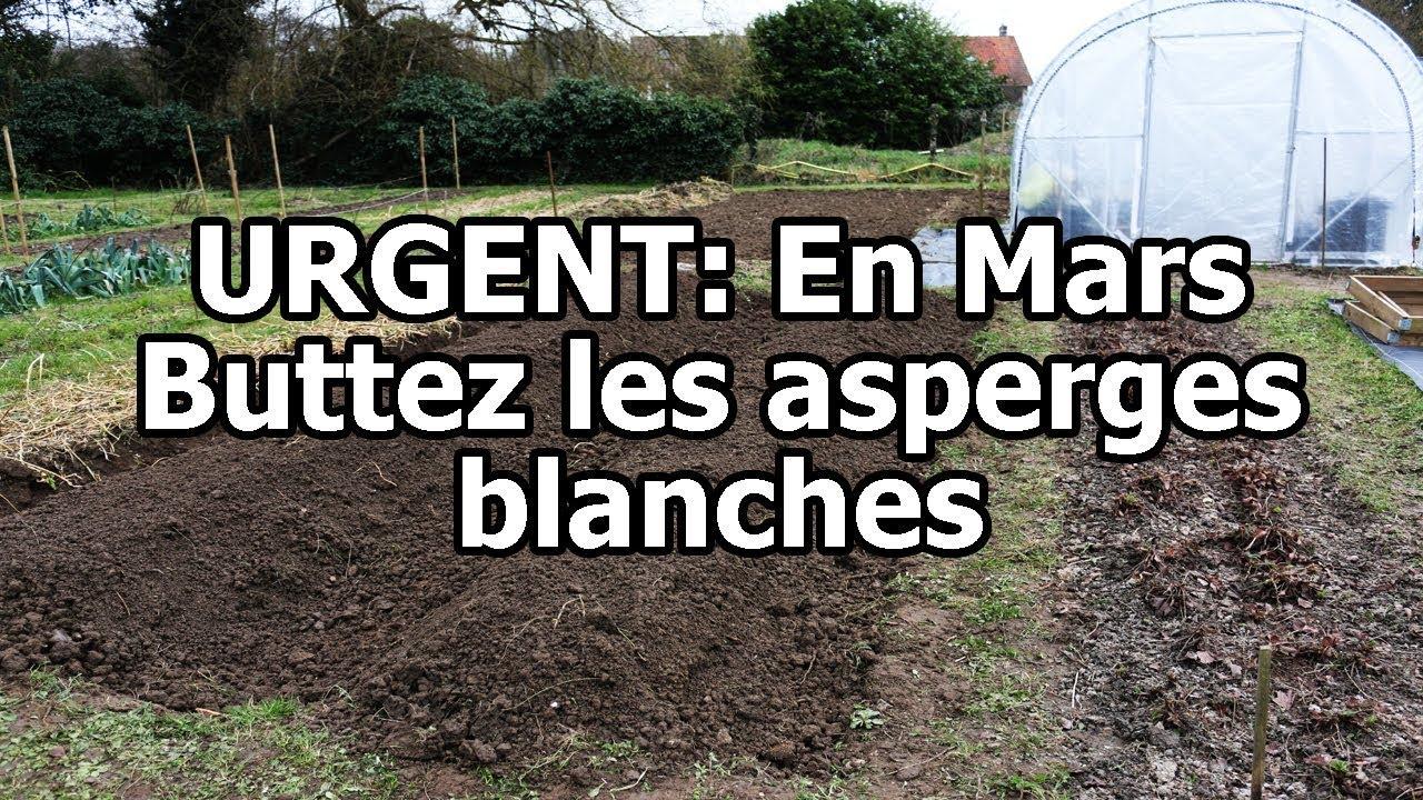 Comment Planter Des Asperges urgent: en mars buttez les asperges blanches